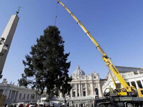 Cây Thông Noel Cao 21m Ở Vatican